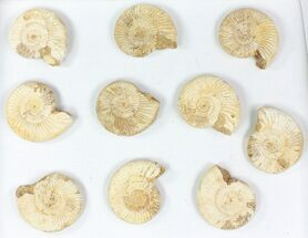 Perisphinctes - Fossils For Sale - #77172