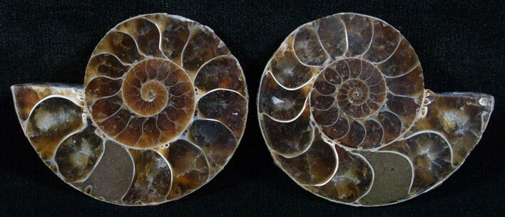 Small Desmoceras Ammonite Pair - 1.7""