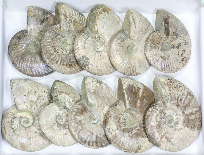 "Wholesale Lot: 5 - 6"" Silver Iridescent Ammonites - 10 Pieces"