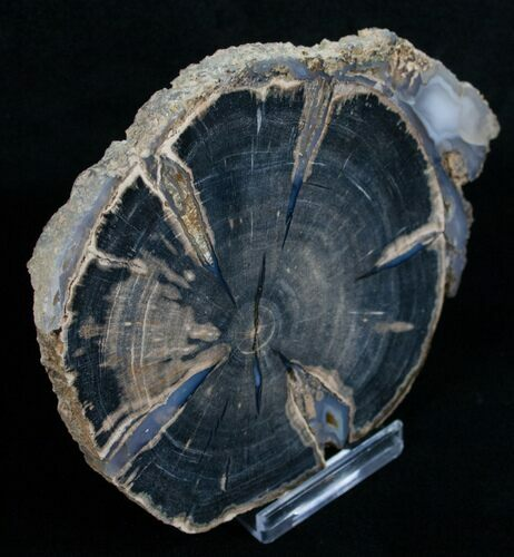 Blue Forest Petrified Wood Slice - 4.4""