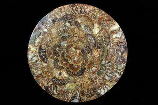 "12.2"" Composite Plate Of Agatized Ammonite Fossils For Sale, #77786"