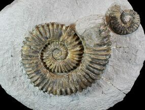 "Buy 4.2"" Fossil Ammonites (Aegocrioceras) on Rock - Germany - #77950"
