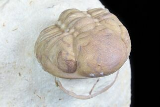 Buy Detailed, Enrolled Lochovella (Reedops) Trilobite - Oklahoma - #77995