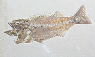 Mioplosus labracoides - Fossils For Sale - #78132