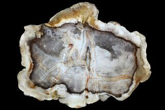 "9.6"" Petrified Wood (Cedar) Slab - Vantage, Washington For Sale, #78161"