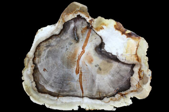 "9.8"" Petrified Wood (Cedar) End Cut - Vantage, Washington"