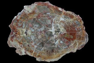 "Buy 8.5"" Polished Petrified Wood (Araucaria) Slab - Arizona  - #78166"
