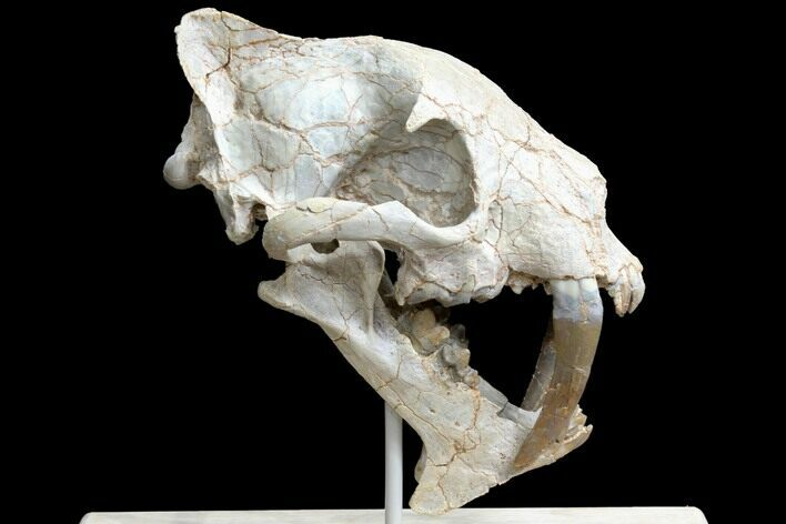 "7"" False Saber-Tooth Cat (Hoplophoneus) Skull - South Dakota"