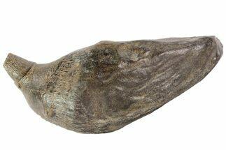 Scaldicetus sp. - Fossils For Sale - #78219