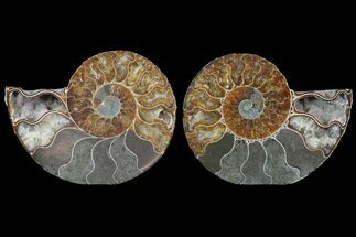 Cleoniceras - Fossils For Sale - #78555