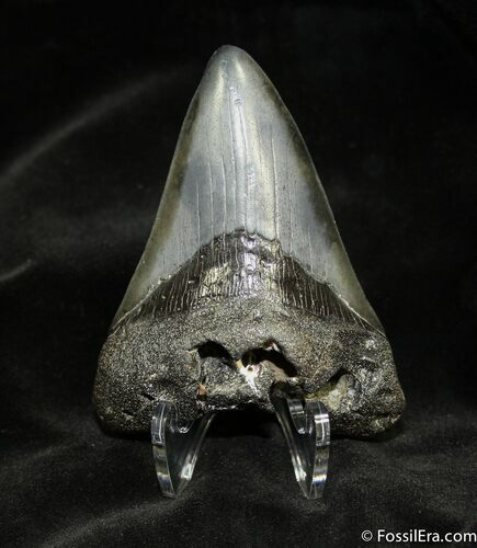 3.33 Megalodon Tooth With Beautiful Coloration