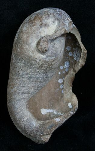 "3.4"" Tall Fossil Whale Ear Bone - Venice Florida"