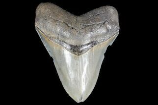 Carcharocles megalodon - Fossils For Sale - #78645