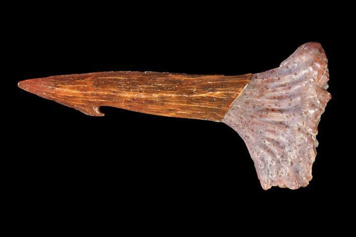 ".62"" Cretaceous Giant Sawfish (Onchopristis) Rostral Barb"