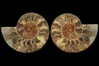 Cleoniceras - Fossils For Sale - #78330