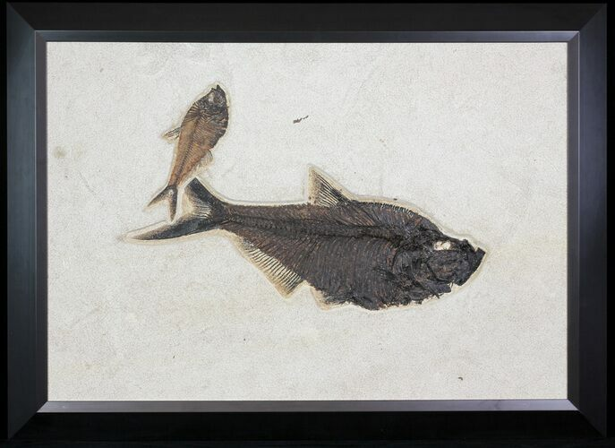 "29.5"" Wide, Framed Fossil Fish (Diplomystus) Plate - Wyoming"