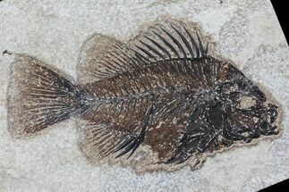 "4.6"" Cockerellites (Priscacara) Fossil Fish - Wyoming For Sale, #79364"