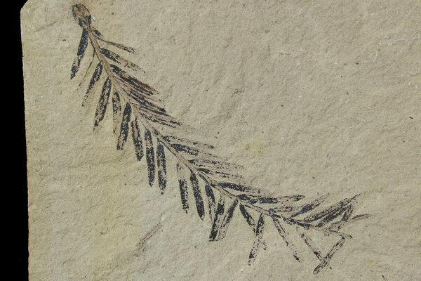 A dawn redwood fossil from the Muddy Creek Formation in Montana.