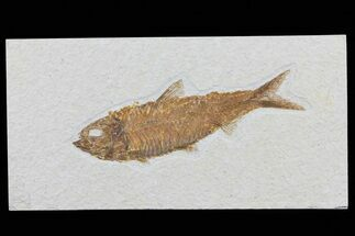 "Buy 4.4"" Knightia Fossil Fish - Wyoming - #79867"