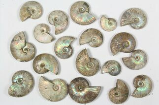 Various - Fossils For Sale - #79437