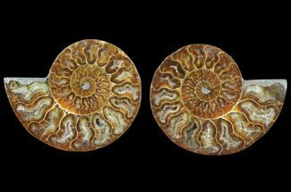 Cleoniceras - Fossils For Sale - #78402
