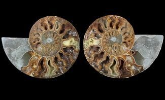 "Buy 5.1"" Cut & Polished Ammonite Fossil - Agatized - #79708"