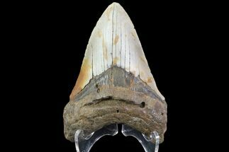 "Buy 4.21"" Fossil Megalodon Tooth - North Carolina - #79894"