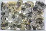 Wholesale Lot: Assorted Devonian Trilobites - 30 Pieces - #80636-2