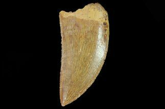 "Buy Serrated, 1.64"" Juvenile Carcharodontosaurus Tooth - #80698"