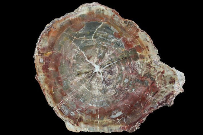 "8.2"" Polished Petrified Wood (Araucaria) Slab - Arizona"
