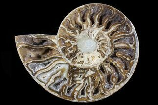 "9.5"" Choffaticeras (""Daisy Flower"") Ammonite Half - Madagascar For Sale, #80912"