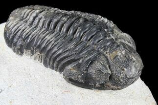 "Bargain, 2.7"" Pedinopariops Trilobite - Mrakib, Morocco For Sale, #80948"