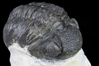Pedinopariops sp. - Fossils For Sale - #80952