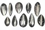 "Wholesale Lot: Polished Orthoceras Fossils (2-4"") - 100 Pieces - #80743-1"