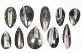 "Wholesale Lot: Polished Orthoceras Fossils (2-4"") - 100 Pieces - #80743-2"