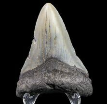 "Buy Bargain, 3.05"" Megalodon Tooth - North Carolina - #80815"