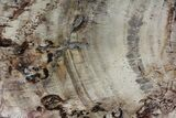 "14.6"" Detailed Petrified Wood (Araucaria) Round - Madagascar  - #81354-1"