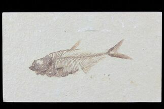 Diplomystus dentatus - Fossils For Sale - #81420
