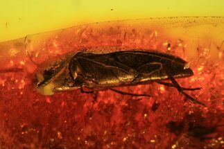 Buy Detailed Fossil Beetle (Coleoptera) In Baltic Amber - #81658