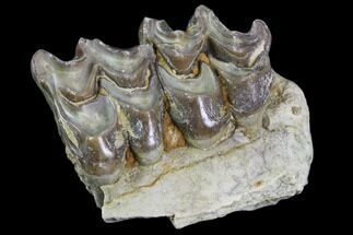 "1.4"" Oreodont Jaw Section With Teeth - South Dakota For Sale, #81941"