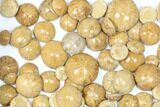 Wholesale Lot: Small, Polished, Jurassic Sand Dollars - 100 Pieces - #82398-2