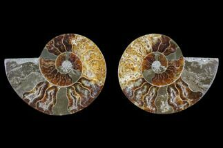 "2.8"" Cut & Polished Ammonite Fossil - Agatized For Sale, #82313"