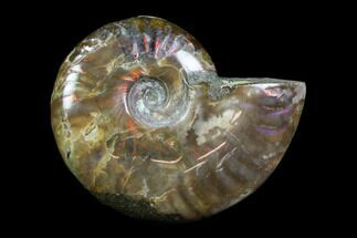"Buy 2.25"" Iridescent, Red Flash Ammonite - Madagascar - #82423"