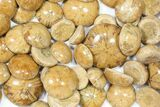 Wholesale Lot: Small, Polished, Jurassic Sand Dollars - 100 Pieces  - #82388-2