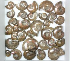 "Buy Wholesale: 1kg Iridescent, Red Flash Ammonites (1.5-2"") - 32 Pieces - #82495"