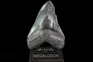 "Huge, 6.03"" Fossil Megalodon Tooth - South Carolina For Sale, #82811"