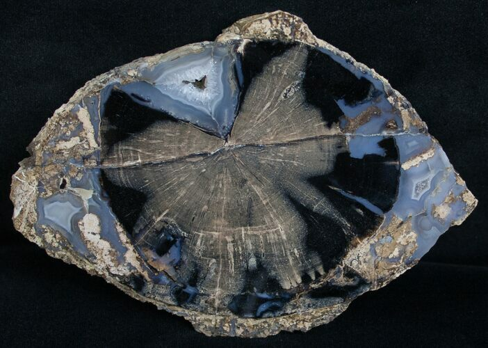 Blue Forest Petrified Wood Slice - 5.2x3.6""