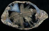 "Blue Forest Petrified Wood Slice - 5.6x3.4"" - #6198-1"