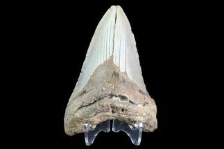 "Bargain, 4.8"" Megalodon Tooth - North Carolina For Sale, #83942"