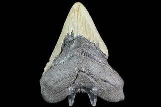 "Buy Bargain, 4.41"" Megalodon Tooth - North Carolina - #83902"